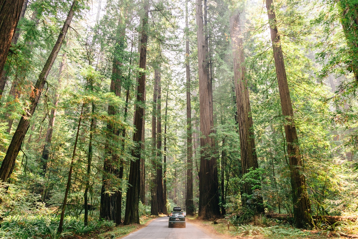 A car driving down the road that is lined with towering redwoods