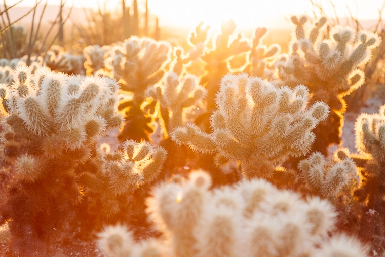 Morning light through Cholla cactus