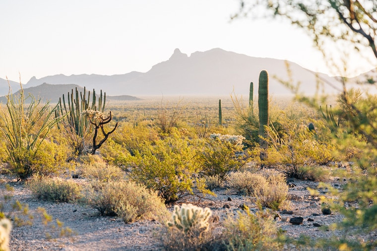 A wide expanse filled with cactus and mountains in the background