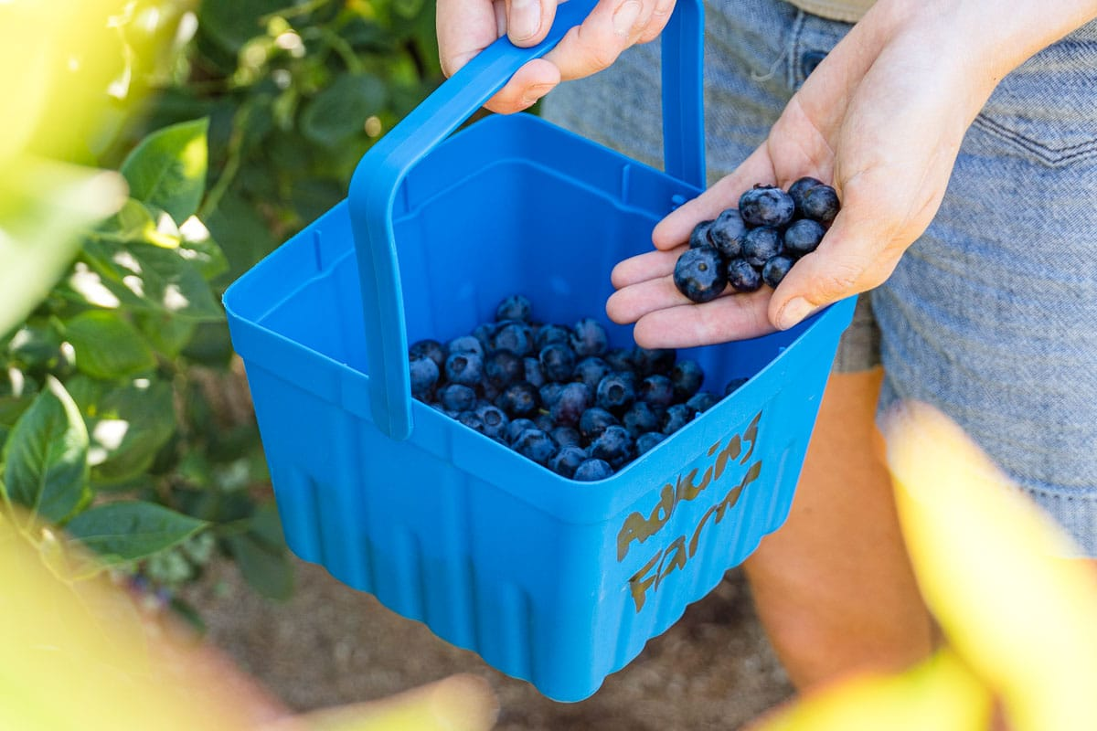 Megan adding a handful of blueberries to a small bucket