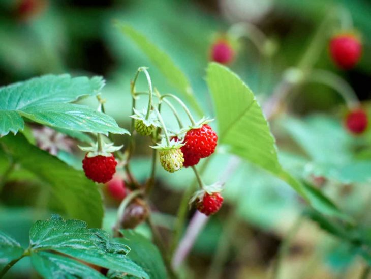 Wild strawberries growing on a vine